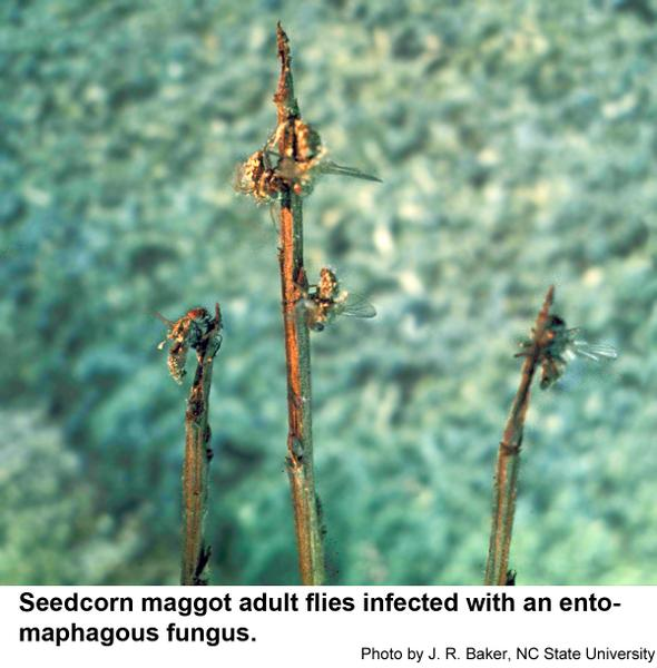 Thumbnail image for Fungus-Infected Seedcorn Maggot Flies