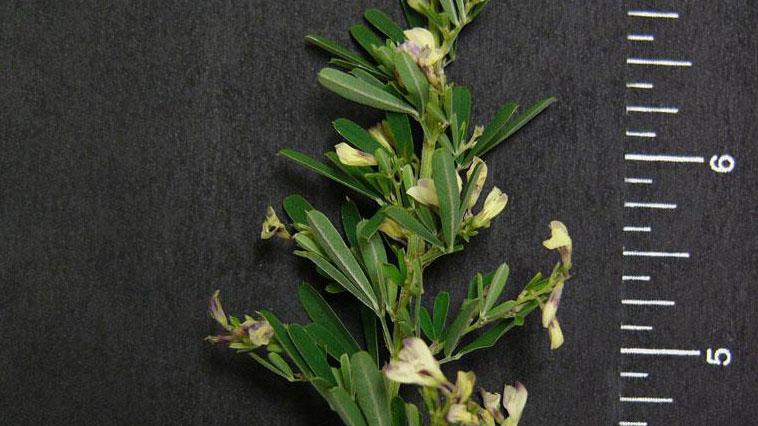 Sericea lespedeza flower color.