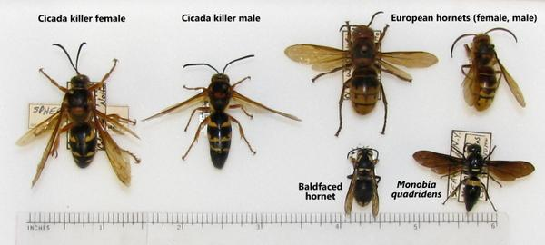 Cicada killer wasps and similar species