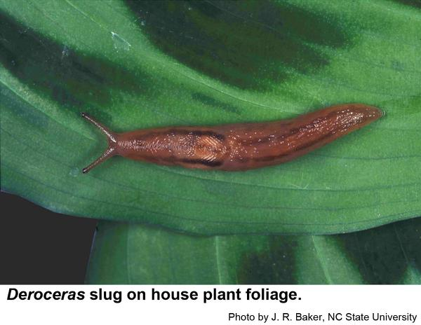Slugs in the genus Deroceras