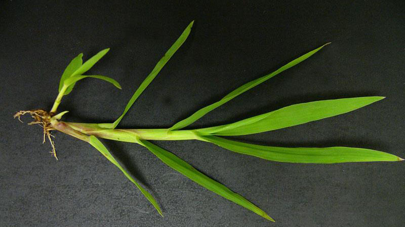 Smooth crabgrass sheath type