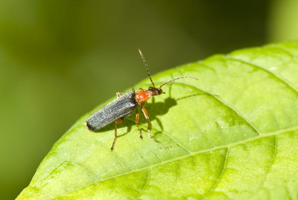 soldier beetle japanese knotweed