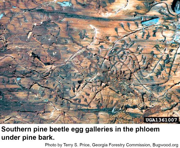 Egg galleries of the southern pine beetle