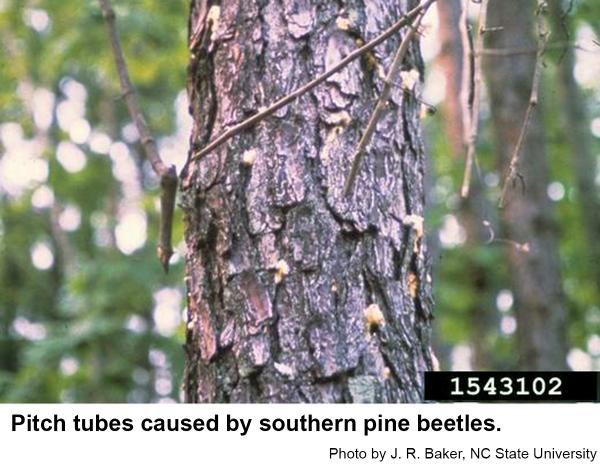 Southern pine beetles sometimes cause pitch tubes