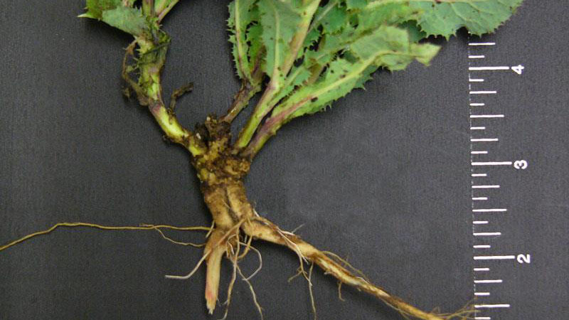 Spiny sowthistle root type.