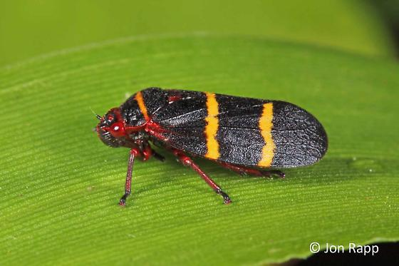 Photo of the two-lined spittlebug
