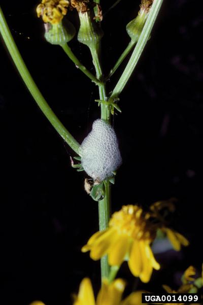 Photo of spittlebug spit