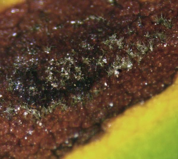 Close up image of early leaf spot lesion with spores.
