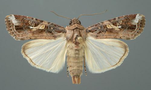 Figure 3. White spot on wings.