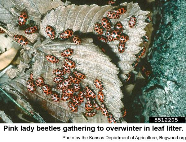 An overwintering congregation of pink lady beetles.