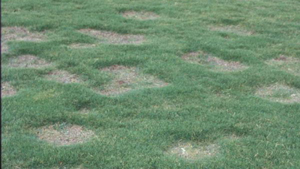 Spring dead spot stand symptoms.