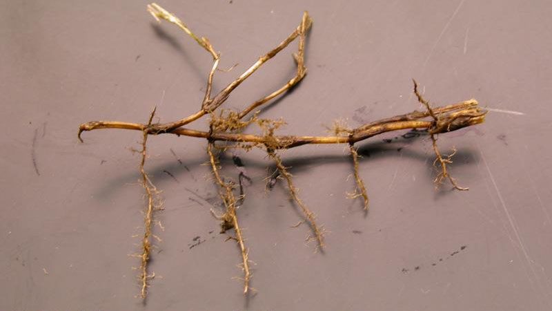 Spring dead spot root / crown symptoms.