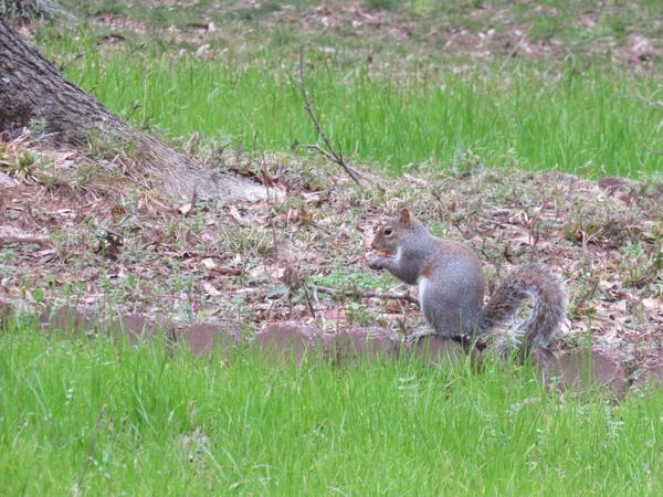 Photo of squirrel in a yard setting eating