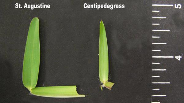 St. Augustinegrass leaf blade tip shape.