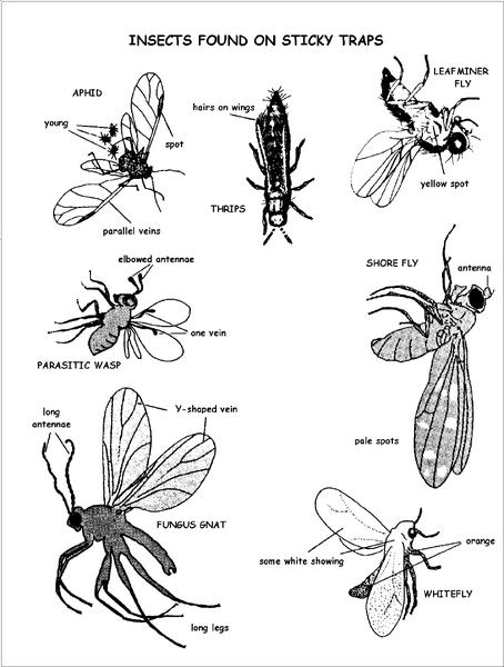 Figure 1. Insects found on sticky traps.