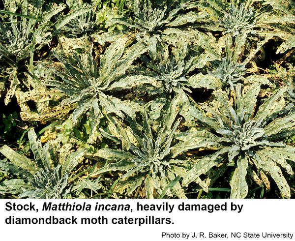 Diamondback moth caterpillars may cause extensive damage.