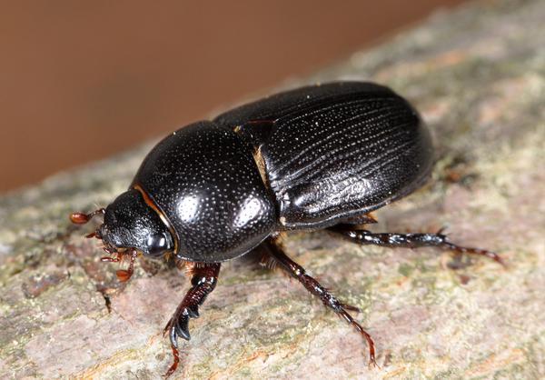 Adult sugarcane beetle.