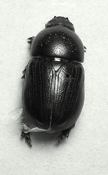 Adult sugarcane beetle.