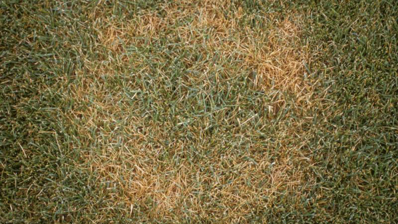 Summer patch stand symptoms.