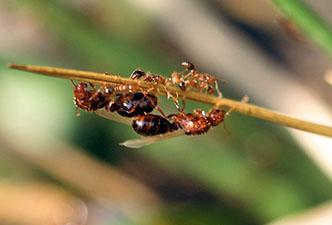 "Winged fire ant ""swarmers"" and wingless workers on a weeds near"
