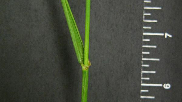 Tall fescue sheath type