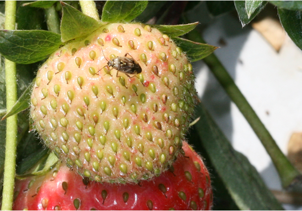 Photo of adult tarnished plant bug on strawberry.