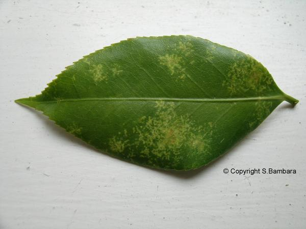 Figure 3. Yellow splotches on the top of a leaf.