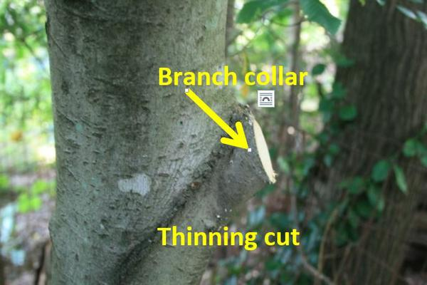 Thumbnail image for Topping Trees and Flush Cuts