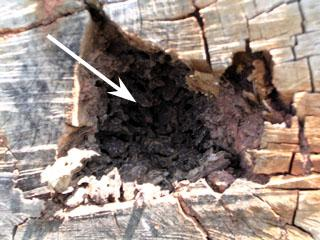 Figure 5. Close-up of termite damage in live tree.