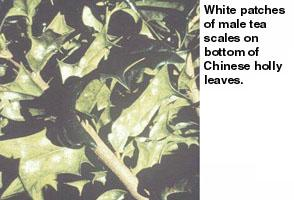 Figure 1. White patches of male tea scales.