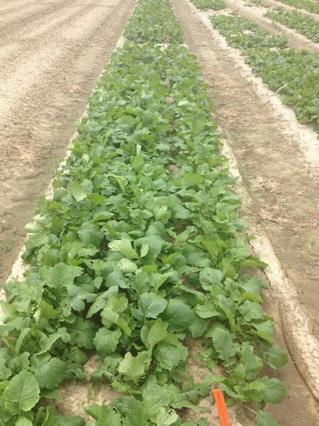 a field planting of turnip plants with normal growth