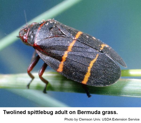 Thumbnail image for Managing the Twolined Spittlebug in the Home Landscape