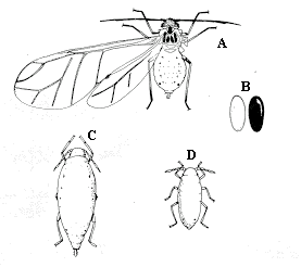 Asparagus aphid. A. Winged adult. B. Eggs. C. Wingless adult. D.