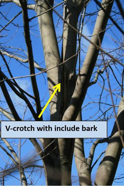V-crotch with include bark