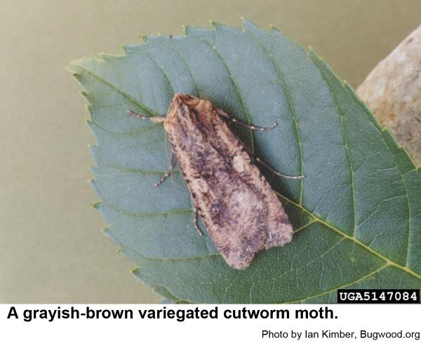 Pearly underwing moth