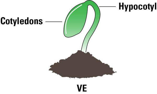 Thumbnail image for The Soybean Plant