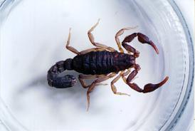 Figure 1. Southern devil scorpion, Vejovis carolinianus.