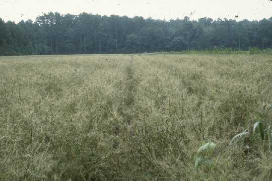 Photo of soybean field showing velvetbean caterpillar damage