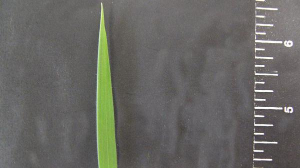 Velvetgrass leaf blade tip