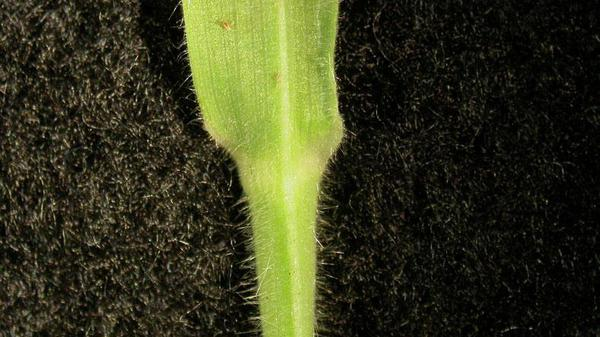 Velvetgrass collar type