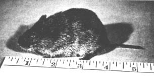 Figure 2. Meadow vole.