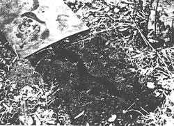 Figure 4. Tunnels made by pine voles under a shingle at an IPM m