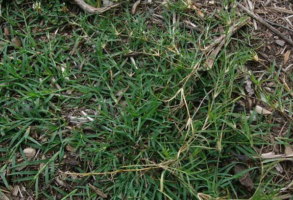 Figure 6. Bermudagrass stolons.