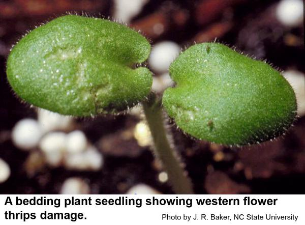 western flower thrips feed on seedlings