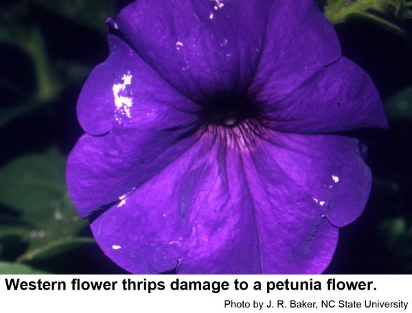 Western flower thrips damage to petunia.