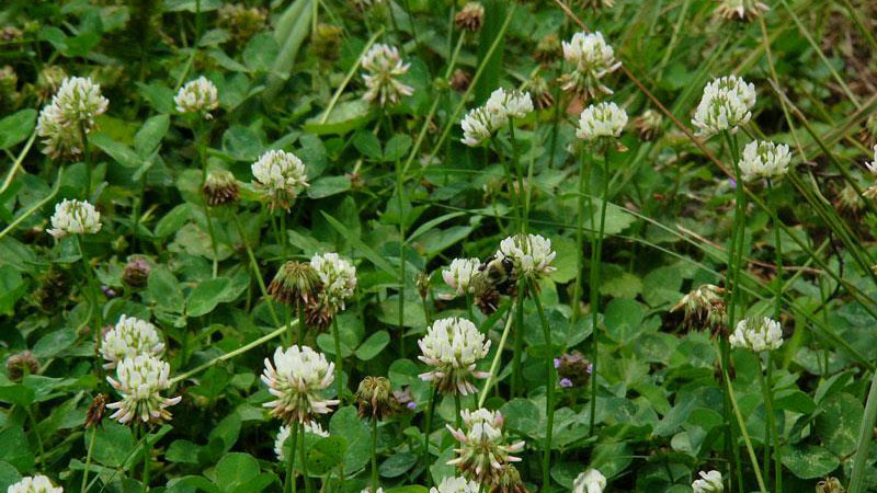 White clover flower color.