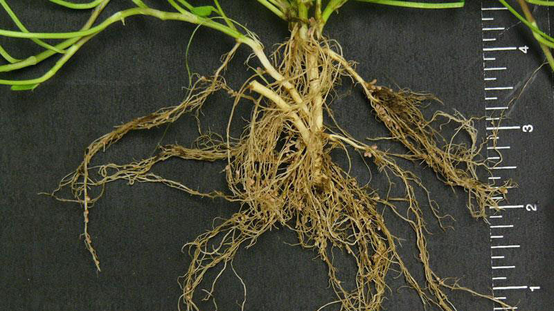 White clover root type.