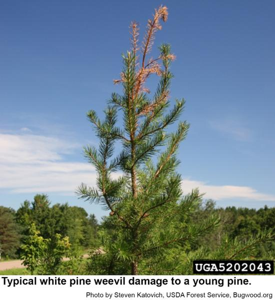 White pine weevils cause the tops to die out