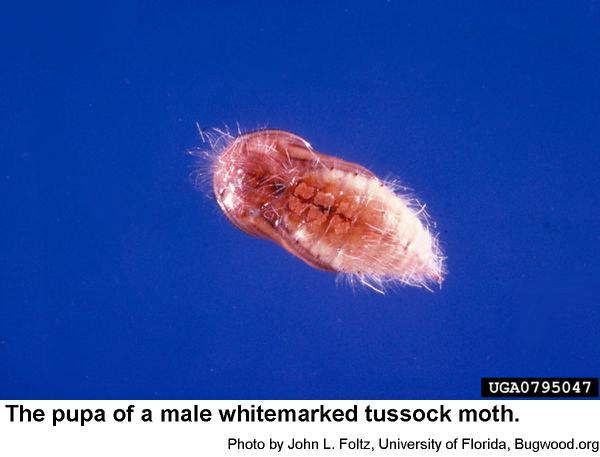 male whitemarked tussock moth pupa