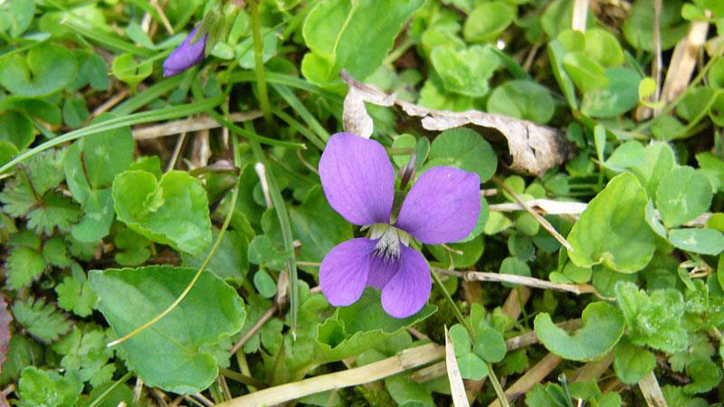 Wild violet flower color.